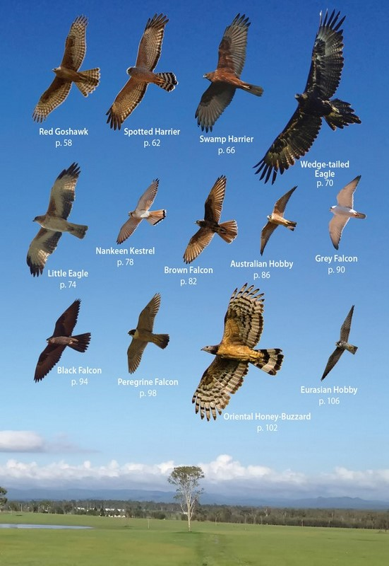 Australian Birds Of Prey In Flight Photographic Guide By Richard Seaton 9781486308668 Booktopia